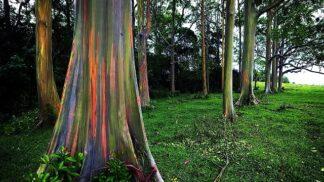 Tento duhový strom je prý nejkrásnější na světě