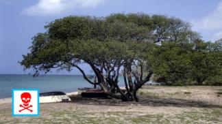 Tohle je nejnebezpečnější strom světa. Je tak jedovatý, že pod ním nemůžete stát, když prší