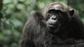 Neuvěřitelný dokumentární příběh Zrození bojovných opic na Discovery Channel