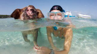 U této pláže si můžete zaplavat s rozjařenými prasátky