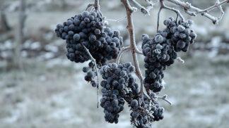 Ledové víno: Co byste o této zimní lahůdce měli vědět?