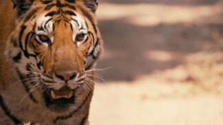 Záchrana tygrů: Discovery se spojilo se Světovým fondem na ochranu přírody za účelem ochrany ruského Národního parku Bikin