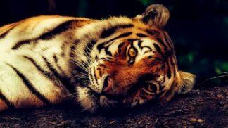 Jaké zvíře ve vás dřímá podle horoskopu: Je to obávaný tygr nebo moudrý slon?
