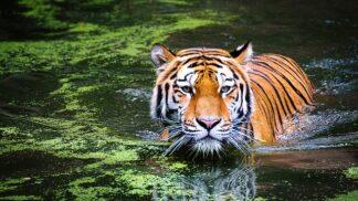 Jeho řev je slyšet až na tři kilometry a jeho sliny jsou antiseptické: 15 věcí, které jste možná nevěděli o tygrech