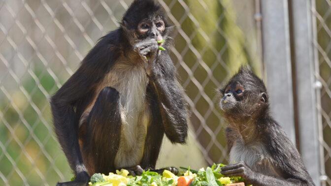 Před 88 lety se Češi dočkali otevření pražské zoo: Prvními zvířaty byly vlčice Lotta, lvice Šárka a lachtani od Vlasty Buriana