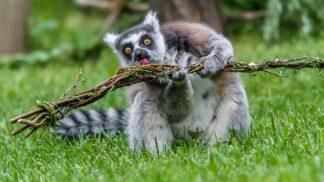 """Roztomilý """"plyšák"""": V pražské zoo se narodilo mládě lemura, mrkněte mu do očí!"""