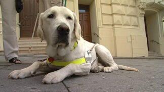Výcvik vodicích psů: Víte, kolik stojí a jak probíhá?