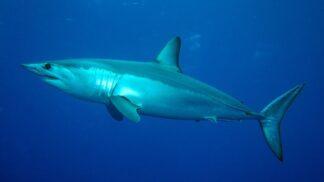 Thumbnail # Další žralok v Chorvatsku, Češi panikaří! Jaké je riziko, že na vás zaútočí?