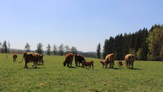 Pastviny, výběhy, čistý vzduch: Podívejte se, jak se žije kravám na bio farmách!