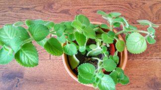 Rýmovník – bylinka, která pomáhá při nachlazení: Je nenáročná a snadno dostupná