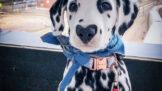 Thumbnail # Dalmatin, který uchvátil svět. Na čumáku má skvrnu ve tvaru srdce