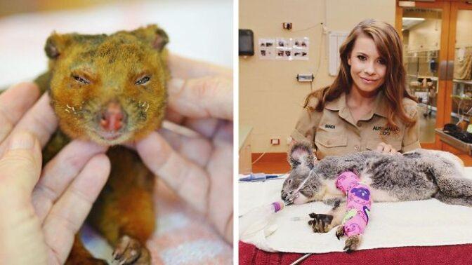 Požáry v Austrálii už vzaly život půl miliardě zvířat. Koaly zachraňuje rodina legendárního lovce krokodýlů Steva Irwina