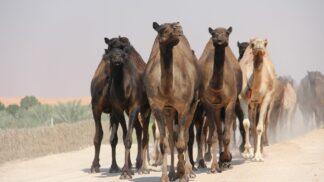 V Austrálii zastřelí okolo deseti tisíc velbloudů, kteří jsou zoufale žízniví a ohrožují lidi