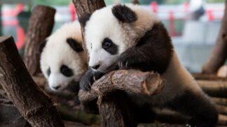 Pandí dvojčata Pit a Paule se přestávají ukrývat. Návštěvníci berlínské zoo už je mohou vidět na vlastní oči
