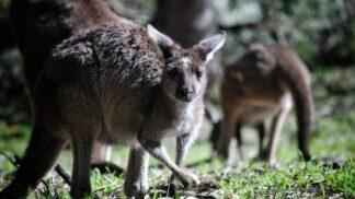 """Australská zvířata během ničivých požárů hladoví. Z nebe proto """"padají"""" mrkve a brambory"""