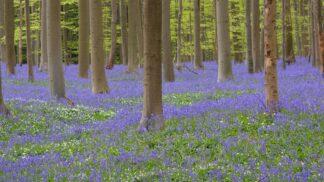 Krása jménem Hallerbos: Magický les v Belgii každé jaro pokryje modrý koberec