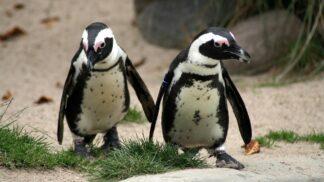 Snímek, který dojal celý svět. Fotograf zachytil dva ovdovělé tučňáky, jak společně koukají na nebe v Melbourne # Thumbnail
