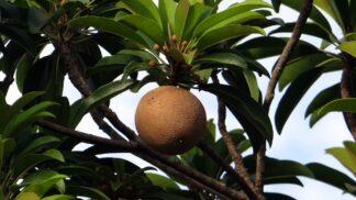 Thumbnail # Mlsání bez výčitek: Ovoce s příchutí čokolády, které si můžete vypěstovat i v bytě