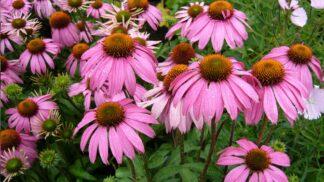 Zahrada suchá jako poušť? Nejlepší suchomilné trvalky, které ji promění v rozkvetlou oázu