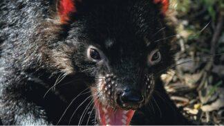 Tasmánští čerti se zabydlují v pražské zoo. Návštěvníci se na ně mohou přijít podívat již tuto sobotu