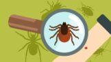Thumbnail # Babské rady: Jak se chránit před klíšťaty pomocí šišek z túje
