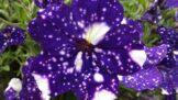Thumbnail # Proměňte svou zahrádku v noční oblohu. Odrůdu petúnie s názvem Sky Night koupíte i u nás