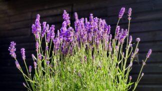 Levandule na zahradě i v květináči: Jak ji stříhat, aby bohatě kvetla? # Thumbnail
