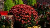 Podzimní krásky chryzantémy: Jak to udělat, aby kvetly co nejdéle