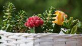 Miniaturní zahrádky, které neuschnou: Sukulenty se naučí pěstovat opravdu každý