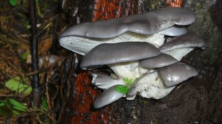 Královna hub: Hlíva ústřičná zlepšuje účinky léčiv, jezte ji, když užíváte antibiotika