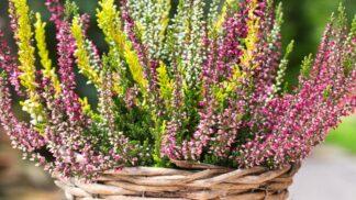 Krasavec vřes: Jak ho pěstovat, aby vám co nejdéle vydržel