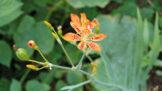 Zázrak jménem angínovník: Žvýkání listů ulevuje při bolestech v krku, pomáhá i při nachlazení