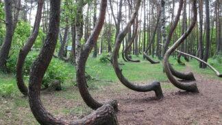 Děsivý Křivý les v Polsku: Co způsobilo podivný tvar stromů připomínající písmeno J?