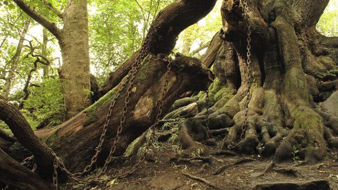 Podivná britská atrakce: Je dub v parku Alton Towers spoutaný těžkými řetězy kvůli prokletí?