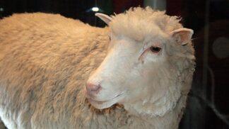 Nejslavnější ovce světa: Klonovaná Dolly dostala jméno podle poprsí americké zpěvačky