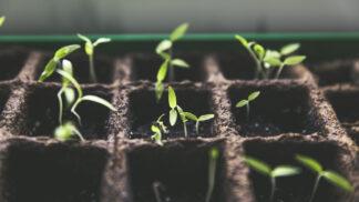 Pěstování rajčat ze semínek: Vysejte je teď, budete mít kvalitní a silné rostliny