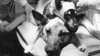 Ruský vědec Vladimir Děmichov stvořil dvouhlavého psa. Experiment byl jen pro otrlé