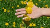 Jarní očista jater: Nemusíte hned do lékárny, pomůže vám těchto 9 bylinek