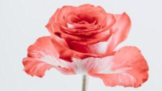MDŽ a karafiáty: Květiny, jejichž pověst zničil socialismus, k nám dovezl jeden chytrý voják