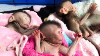 V Thajsku zachránili vzácná opičí trojčata, jména dostala po členkách dívčí kapely