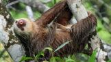 Hvězdy českých zoo: Seznamování lenochodů probíhá skutečně bizarním způsobem
