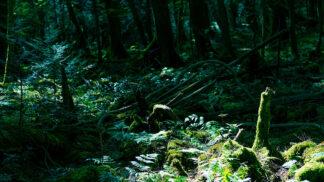 Aokigahara, nejděsivější les světa: Japonci sem nosili nepotřebné důchodce, čekala je hrozná smrt