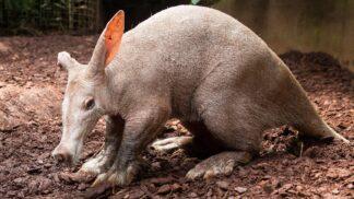 Hvězdy českých zoo: Hrabáč kapský má rypák prasete, ocas klokana a uši zajíce
