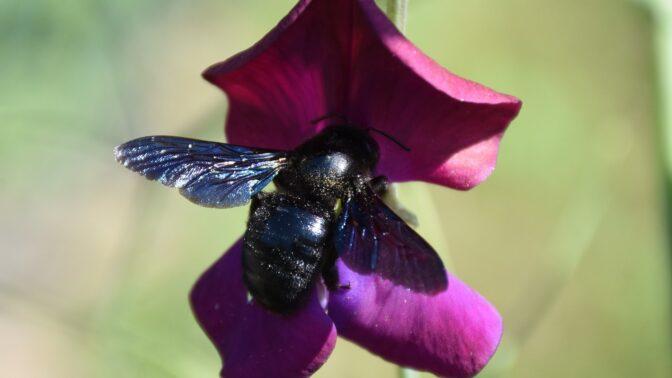 Vzácná černá včela drvodělka: Do Česka se vrací po sto letech kvůli globálnímu oteplování, je nebezpečná?