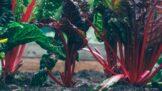 Sezona rebarbory vrcholí: Jí se jen řapík, a rozhodně ne syrový. Je báječným zdrojem vitamínů a minerálů