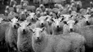 Záhadná ovčí panika: Má tisíce zvířat vyděšených k smrti na svědomí UFO?