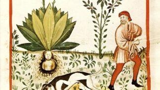 Thumbnail # Tajemná mandragora: Její kořen měl na krku nosit i Vůdce…
