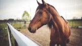 Thumbnail # Koně umí přečíst emoce v lidské tváři, zjistili poprvé psychologové. Rozzlobené lidi změří levým okem