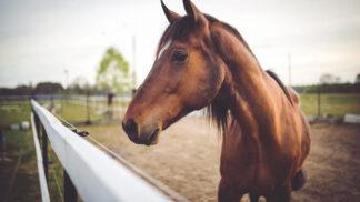 Koně umí přečíst emoce v lidské tváři, zjistili poprvé psychologové. Rozzlobené lidi změří levým okem
