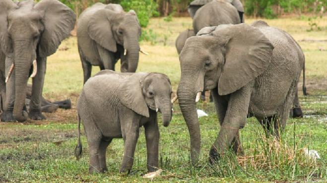 Slon truchlí dlouho a je vytrvalým plavcem. Plus dalších 5 věcí, které jste o něm určitě netušili